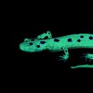 TealSalamander