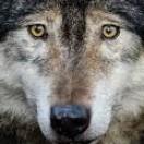 WolfMusic