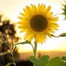 sunflowerfieldsforever's Avatar