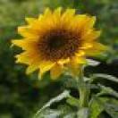 SunflowerArt