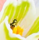 Lotuska